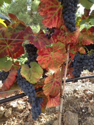 Grapes ready for harvest at Penada