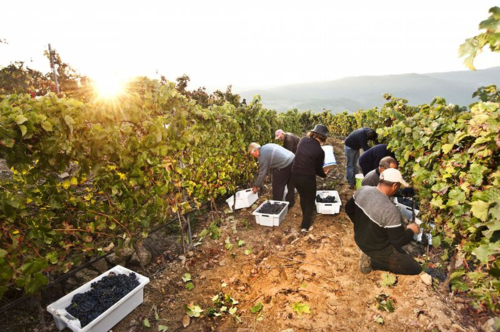 The picking crew in my family vineyard in Portugal