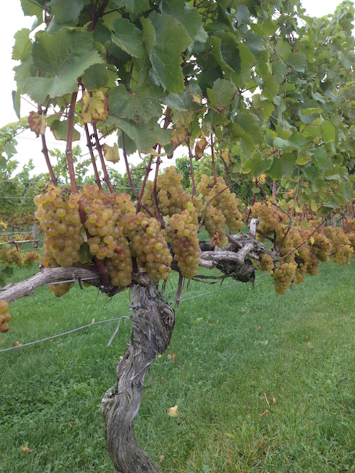 Chardonnay grapes just before harvest at Westport Rivers